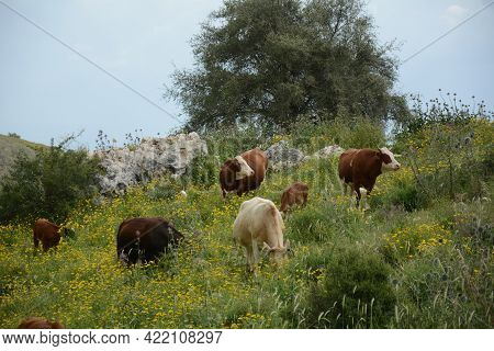 Cattle Grazing On The Green Hills Of Galilee Under Arbel  Mount. Arbel National Park And Nature Rese
