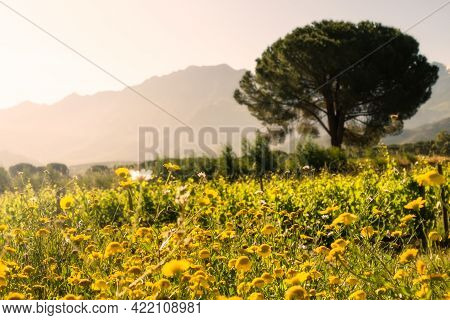 Wild Flowers In A Vineyard In Corsica At Sunrise With A Pine Tree And Mountains In The Distance