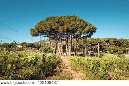 Morning Sun On A Small Copse Of Pine Trees In A Vineyard In Corsica