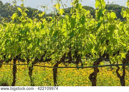 Wild Flowers In Between A Row Of Vines In A Vineyard At Calvi In The Balagne Region Of Corsica