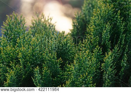 Green Thuja Hedgerow Close Up. Natural Pattern Background, Texture For Design.