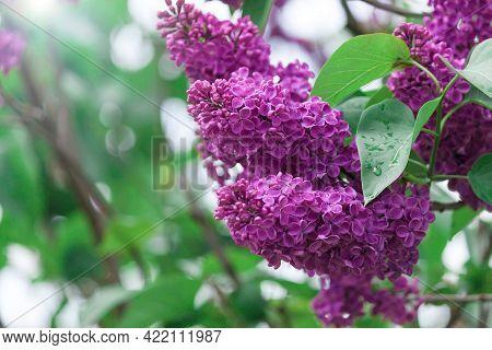 Lilac Purple Branch Flower Bloom, Spring, Summer Background