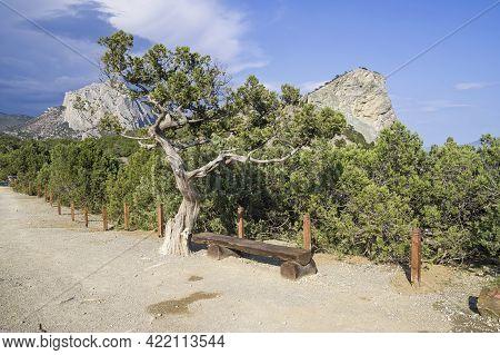 Old Relict Tree Juniper (juniperus Excelsa) By The Tourist Trail. Novyy Svet, Crimea.