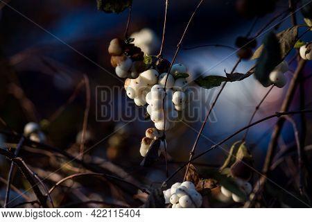 White Berries Of The Snowberry Bush - Common Snowberry, Symphoricarpos Albus - In Winter. Urban Land