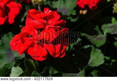 Red Geranium Flowers In Summer Garden. Bright Pelargonium.floral Background.