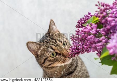 Cat Sniffs A Bouquet Of Lilacs On A Gray Background