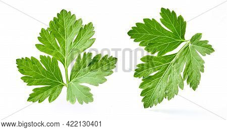 Parsley Isolated On White Background. Fresh Parsley. A Set Of Parsley Leaves.