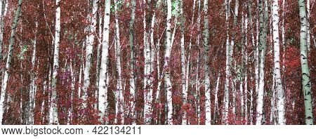 Beautiful Abstract Scene With Birches In Red Autumn Birch Forest In October Among Other Birches In B