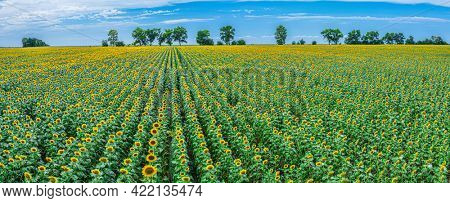 Panoramic view of sunflower field and blue sky at the background.  Sunflower heads on the foreground close up.