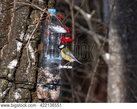 Great Tit (parus Major) Visiting Bird Feeder Made From Reused Plastic Bottle Full With Grains And Su