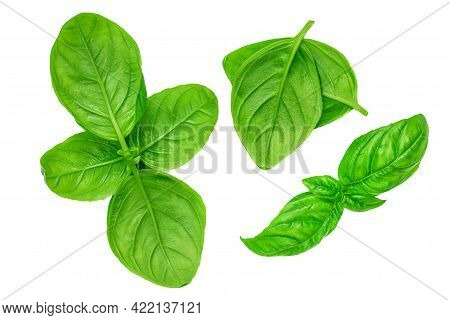 Fresh Basil Leaf Isolated On White Background, Close Up. Basil Herb  Top View Set. Flat Lay