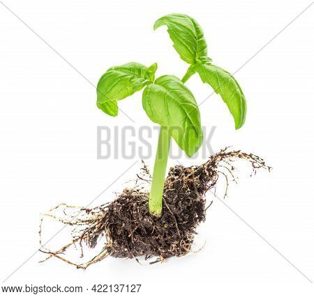 Fresh Basil Leaf Isolated On White Background, Close Up. Basil Herb  Young Plant Growing, Seeding