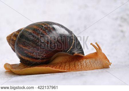 African Snail. Beautiful Detail Of Terrestrial Snail - Terrarium Animal.