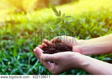Hand Holding Little Cannabis Seedlings. Background Plant