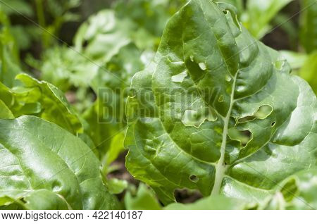 Chard Leaves Eaten By Snails, Slugs And Caterpillars