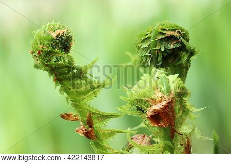 A Fern Unrolling A Young Frond  Against Green Natural Environment Background. Selective Soft Focus.
