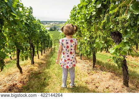 Child In Vineyard, Little Girl Looks At Grape Field In Wine Farm. Back View Of Lonely Kid At Vine Pl