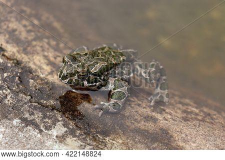 European Green Toad, Bufo Viridis, In The Water.