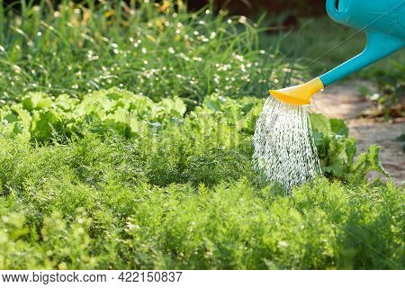 A Person Watering With A Watering Can A Lettuce's Bushes And Herbs In A Garden. Close Up. Copy Space