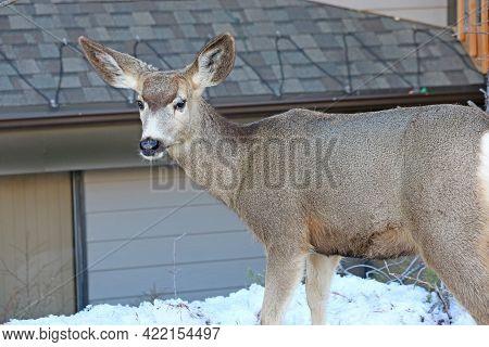 Mule Deer Grazing In The Snow In Winter