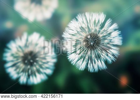 Dandelions Photographed From Above In A Greenish Atmosphere