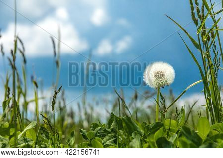 Withered Dandelions In The Meadow. Green Spring Meadow With Dandelions In Sunlight. Spring Meadow. L