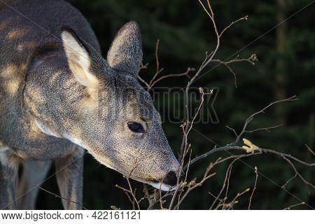Roe Deer Eats Grass Under Snow In Spruce Forest, Capreolus Capreolus. Wild Roe Deer In Nature.