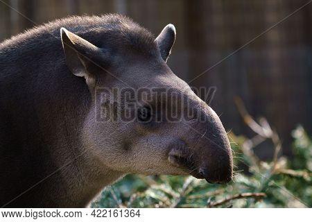 Portrait Of South American Tapir (tapirus Terrestris)