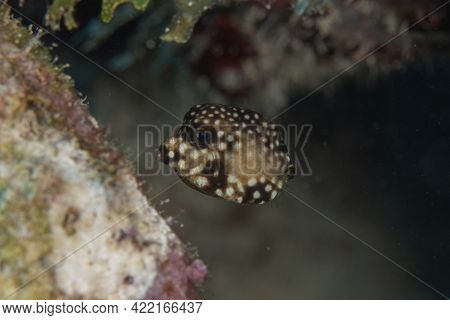 Juvenile Smooth Trunkfish On Coral Reef Off The Tropical Island Of Bonaire In The Caribbean Netherla