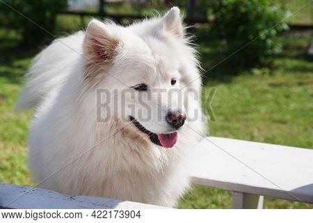 White Samoyed Dog In The Garden On The Green Grass. Purebred Dog.