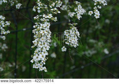 Spring Flowers Background. Spring Blooming Flowers. Spring Flowers In The Garden. Spring Flower Land