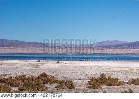 Usa, Ca, Salton Sea - December 28, 2012: Flocks Of Birds Gather In The Dark Blue Water On White Salt