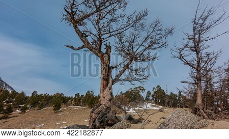 Trees On Sandy Soil. The Roots Are Bare, Rise Above The Ground. Trunks And Branches Against The Blue