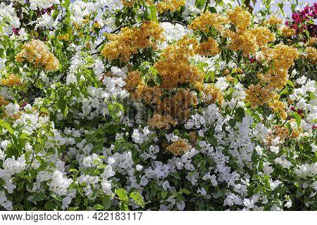 Floral Background Of Multi Colored Bougainvillea Closeup. Selective Focus