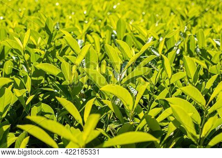 Green Leaves Of Hedge Bush. Prunus Laurocerasus. Bright Summer Background. Cherry, Common And Englis