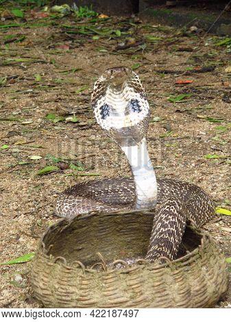 The Cobra In Polonnaruwa Village, Sri Lanka