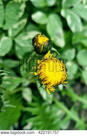 Beautiful Background Made With Young Green Leaves And Yellow Bright Dandelion Flower