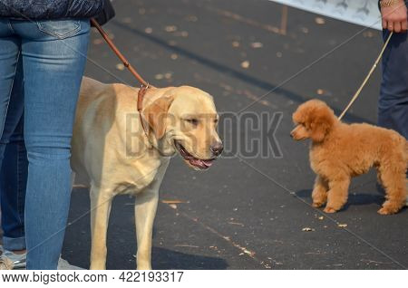 A Labrador Dog And A Poodle Stand Next To Their Owners Outside. A Cream-colored Pet With An Open Mou