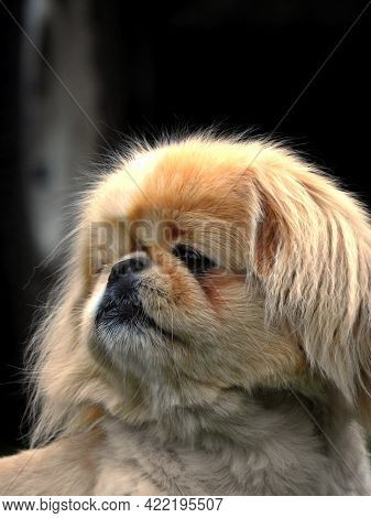 Cute Little Doggie Breed. The Head Of The Dog Is Close. A Confused And Kind Look. Pet.