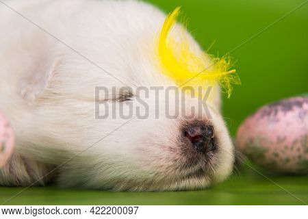 White Small Samoyed Puppy Dog With Eggs On Easter