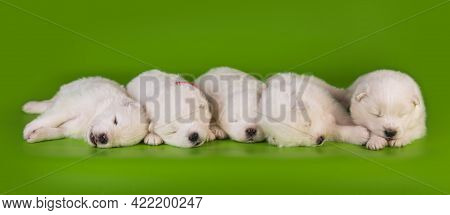 Five Small One Month Old Cute White Samoyed Puppies Dogs
