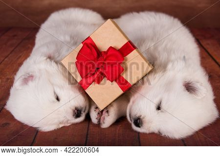 Two White Fluffy Small Samoyed Puppies Dogs With A Gift
