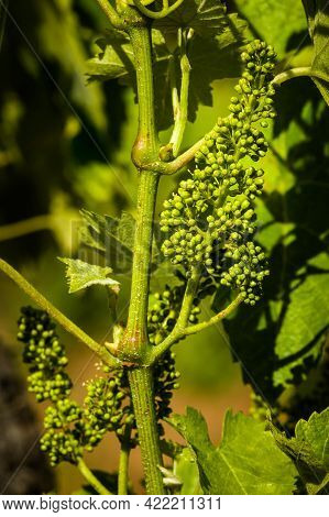 Young Grape Flower Buds On The Vine In Spring Just Before Flowering Surrounded By Green Leaves In Th