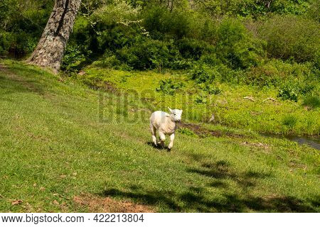 Baby Lamb Hurries Home Through An Idyllic Green Grass Nature Background Setting. Fluffy White And Ad