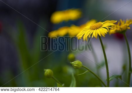 Yellow Chamomile Flowers In The Garden. Yellow Daisy On A Beautiful Blurred Green Background, Close-