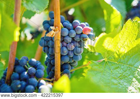 Blue Grapes Ready To Harvest Made By A Vintner In An Established Winery. Famous Vineyard Near Mosel