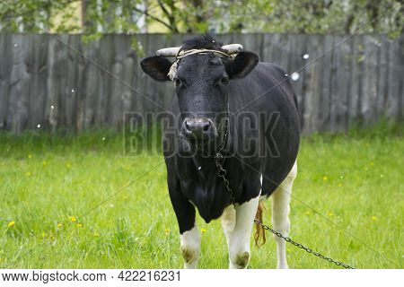 Dairy Cow In The Pasture. Black Young Cow, Stands On Green Grass. Spring Day. Milk Farm. Home Animal
