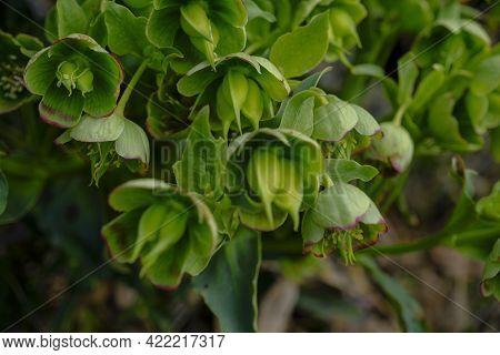 Wild Hellebore Across Forest Ground Close-up. Wildflower Plant