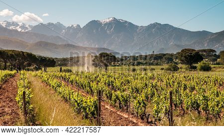 Rows Of Vines In A Vineyard At Calvi In The Balagne Region Of Corsica With Snow Capped Mountains In