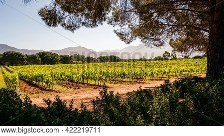 Rows Of Vines In A Vineyard At Calvi In The Balagne Region Of Corsica With Mountains In The Distance